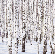 Servietten Winter Birches
